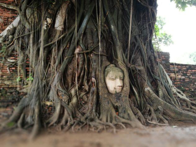 Buddha Kopf in den Baumwurzeln, Wat Maha That