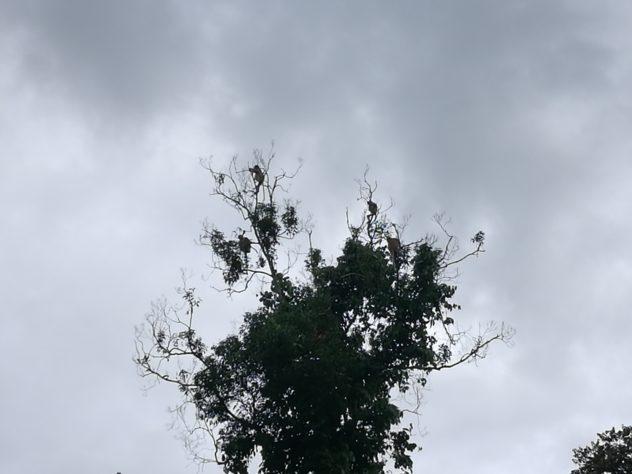hoch oben im Baum haben die Nasenaffen ein Nachtquartier gefunden